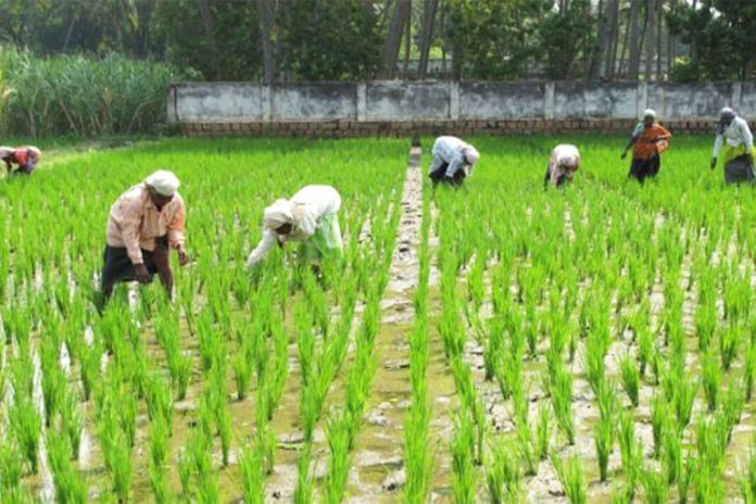 Solution to rice problem